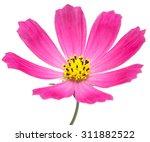 Beautiful Cosmos Flower...
