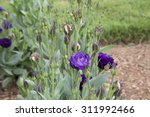 Purple Flowers And Buds Of...