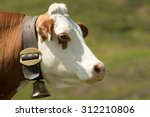 Cow   Koe   Cattle