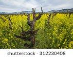 Old Style Grape Vineyard ...