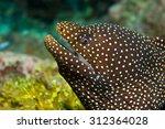 the whitemouth moray ... | Shutterstock . vector #312364028
