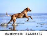 beautiful dog running on water | Shutterstock . vector #312386672