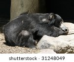 sloth bear sleeping on rock - stock photo