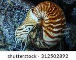 Nautilus Pompilius Or Chambere...
