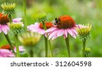 A Bumble Bee On Pink Daisy...