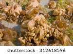 Small photo of air-filled parcels of seaweed growing en mass on a rocky shore at Tatapouri, Gisborne, East Coast, North Island, New Zealand