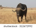 Small photo of African buffalo, Syncerus caffer, single mammal on grass, South Africa, August 2015