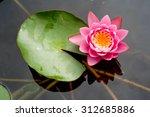 Pink Lotus Flowers Blooming On...