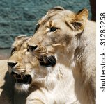 two female white lions - stock photo