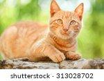 Domestic Orange Cat Outdoors....
