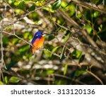 Azure Kingfisher Is Bird Of...