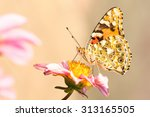 Stock photo vanessa cardui painted lady butterfly on a dahlia flower 313165505