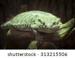 Small photo of Closeup of a bearded dragon, Pogona vitticeps, member of the agamid lizards.