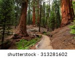 Giant Sequoias Forest. Sequoia National Forest in California Sierra Nevada Mountains - stock photo