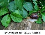 A Garden Snail After Rain On A...