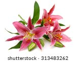 Beautiful Pink Lily Flower...