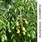 Small photo of Spondias dulcis, known commonly as ambarella, is an equatorial or tropical tree, with edible fruit containing a fibrous pit. Spondias dulcis.