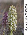 Small photo of hypocromatic flowers on giant orchid (Barlia robertianum)