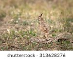 crested lark is singing in the... | Shutterstock . vector #313628276
