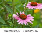 A Bumble Bee On Pink Coneflower