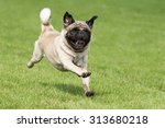Stock photo carlin dog is running on a green meadow 313680218