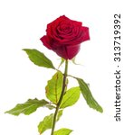 one red rose with on a white...   Shutterstock . vector #313719392