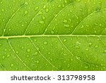 background leaves with drops of ... | Shutterstock . vector #313798958
