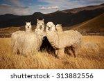 Lamas  Alpaca  In Andes...