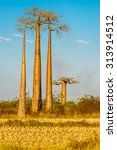 Small photo of MORONDAVA,MADAGASCAR - AUGUST 01,2015 - Baobab trees.Adansonia grandidieri, sometimes known as Grandidiers baobab, is the biggest and most famous of Madagascars six species of baobabs.