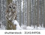 Tawny Owl Snow Covered In...
