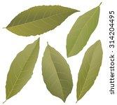 bay leaves   Shutterstock .eps vector #314204495