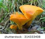 Omphalotus Olearius.bright...