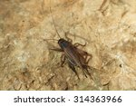 Small photo of House cricket (Acheta domestica). Wild life animal.
