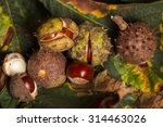Horse Chestnut Conkers On...