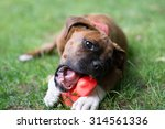 Funny Little Boxer Dog Playing...
