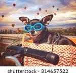 a cute chihuahua in a bike... | Shutterstock . vector #314657522