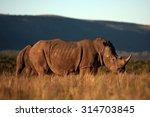 A Big White Rhino   Rhinoceros...