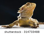 Bearded Dragon Side Portrait O...