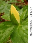Small photo of Yellow Trillium Trillium luteum