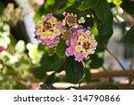 pink lantana closeup  | Shutterstock . vector #314790866