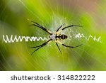 Argiope Aurantia  Black And...