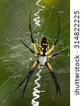 Close Up Of Large Argiope...