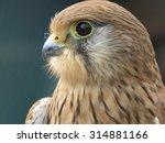 Close Up Of A Kestrel