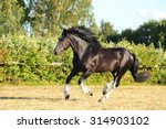 Galloping Shire Horse In...