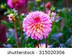 Closeup Of Dahlia Flower In...