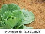 soft focus on cabbage and drop... | Shutterstock . vector #315122825