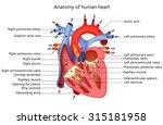 anatomy of human heart   Shutterstock .eps vector #315181958