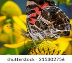 An American Lady Butterfly In...