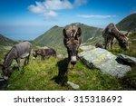 Three Donkeys Eating Grass In...
