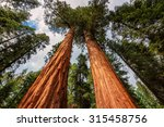 Giant Sequoias Fores In...